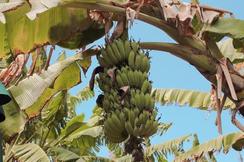 ハワイ ノースショア カフクファーム ファームツアー バナナ BANANA HAWAII NORTHSHORE KAHUKU FARM FARM TOUR